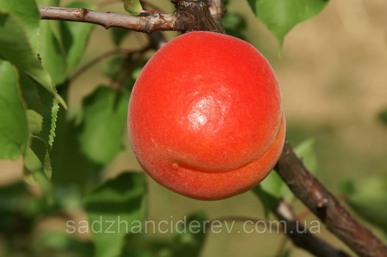 Саджанці абрикоса  Биг Ред