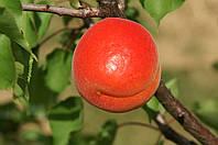 Саджанці абрикоса  Біг Ред (Big Red, Биг Ред)
