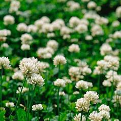 Семена Микроклевер белый декоративный РИВЕНДЕЛ (RIVENDEL) 1кг
