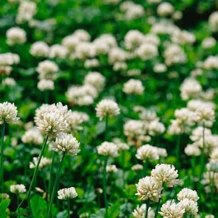 Семена Клевер белый декоративный РИВЕНДЕЛ (RIVENDEL) 1кг , фото 2