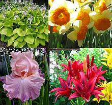 Садові квіти багаторічні рослини(лілії,жоржини,іриси,хоста,півонії)