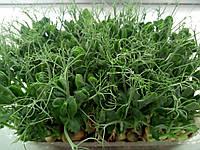 микрозелень, микрогрин, microgreen