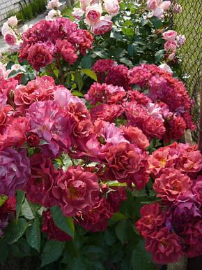 Роза Синко де Майо (Cinco de Mayo) Флорибунда, фото 2