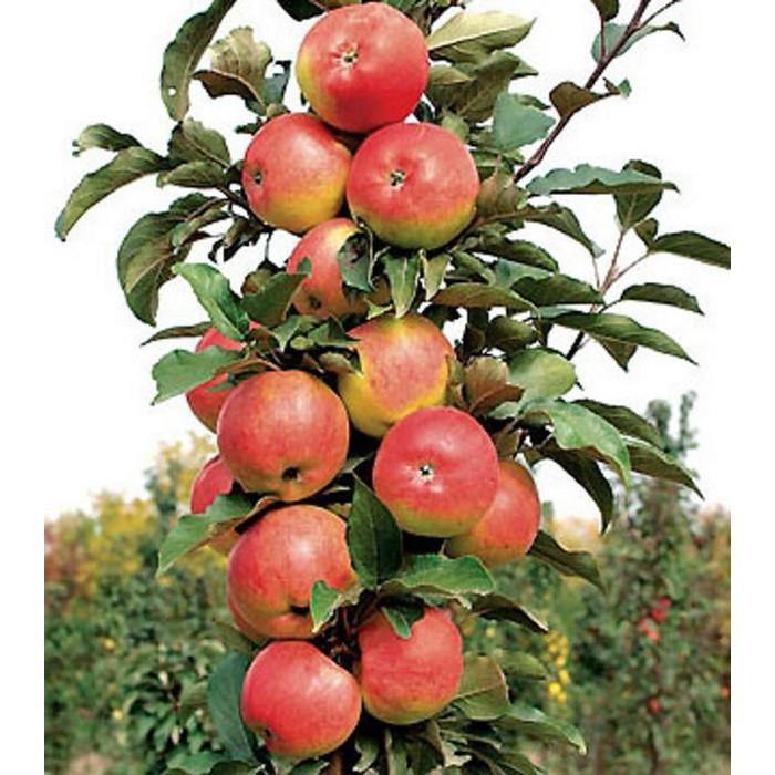 Яблоня колоновидная картинка