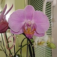 Орхидея Фаленопсис Розовая (на данный момент не цветет), фото 1