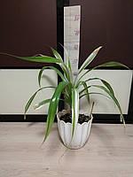 Панданус, винтовая пальма. Комнатный цветок