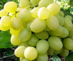 Саженцы Виноград Аркадия (лучшая цена купить оптом и в розницу)