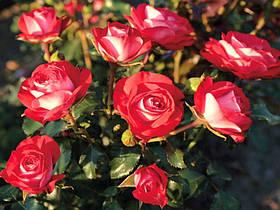Роза Плантен ун Блюмен (Planten un Blomen) Флорибунда, фото 2