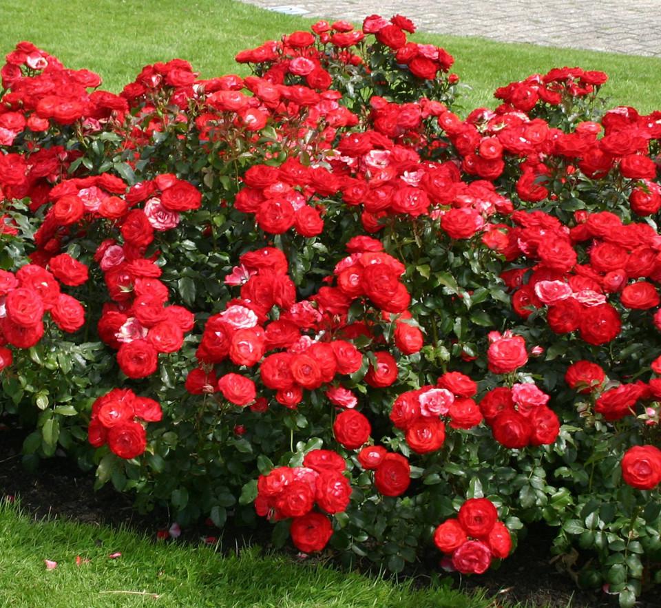 Роза Плантен ун Блюмен (Planten un Blomen) Флорибунда