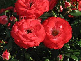 Роза Плантен ун Блюмен (Planten un Blomen) Флорибунда, фото 3