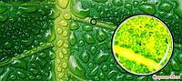 Хлорофилл  – «зеленая кровь» на страже вашего иммунитета.