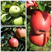 Яблуня дерево сад (Симиренка, Амброзія, Пінк Леді)