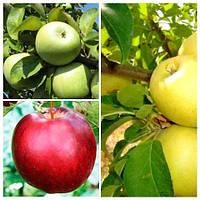 Яблуня дерево сад (Симиренка, Моді, Голден делішес)