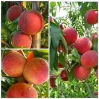 Персик дерево сад (Інка, Ред Хевен, Колінз)