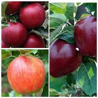 Яблуня дерево сад (Целеста, Ред Чіф, Ред Джонапринц)