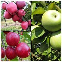 Яблуня дерево сад (Ред Чіф, Симиренка, Камео)