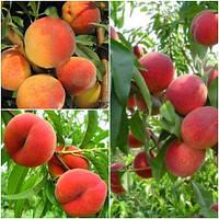 Персик дерево сад (Інка, Сатурн, Вайн Голд)