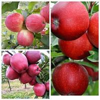Яблуня дерево сад (Ред Чіф, Гала, Цукеркове)