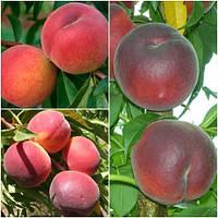 Персик дерево сад (Роял Саммер, Ред Хевен, Шугар Тайм)