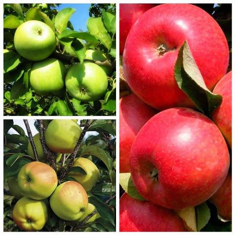 Яблуня дерево сад (Грін Стар, Голден делішес, Граф Эззо)