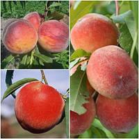 Персик дерево сад (Ерлі Стар, Топ Світ Т5, Ерлі Хрест)