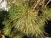 Семена сосна Станкевича, фото 3