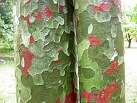 СОСНА БУНГЕ (Pinus bungeana), фото 1