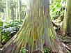 Семена Эвкалипт радужный, фото 3