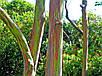 Семена Эвкалипт радужный, фото 4