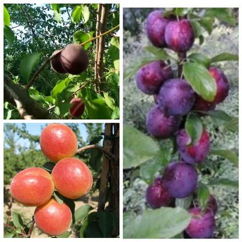 Абрикос дерево сад (Цунами, Шлор Циран, Алыча колоновидная)