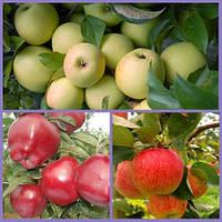 Яблоня дерево сад (Пирос, Голден делишес, Ред Чиф)