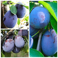 Слива дерево сад (Блюфри, Стенлей, Амерс)