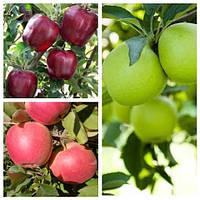 Яблуня дерево сад (Глостер + Чемпіон + Гренні сміт)