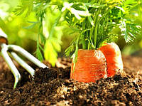 Посадка моркови на открытый грунт
