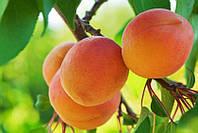 Саджанці абрикоса Харгранд (Хар Гранд, Hargrand)