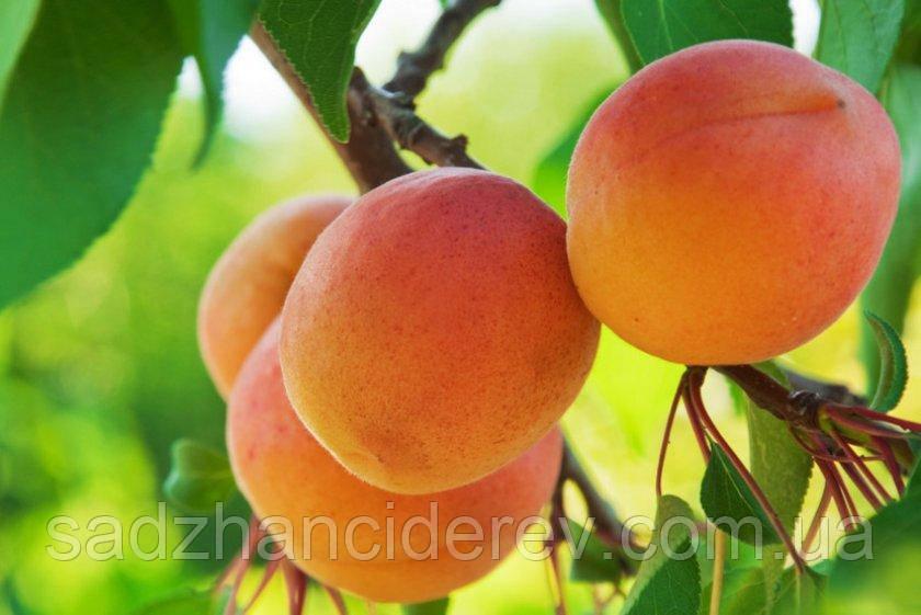 Саджанці абрикоса Хар Гранд