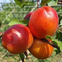 Саджанці абрикоса  Цунами (Tsunami)