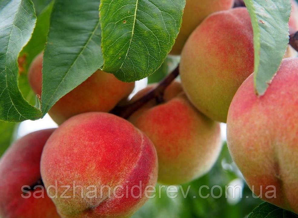 Саджанці персика Фрост (Frost)