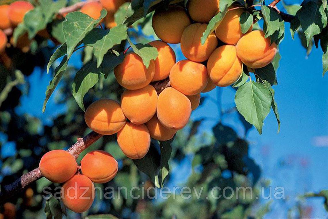 Саджанці абрикоса Харкот (Harcot)