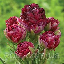 Тюльпан махровый мультифлора Pearl Mountain (Перл Маунтин) 1 шт./уп.