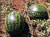 Семена арбуз Холодок (тип Астраханский)
