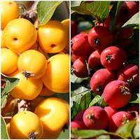 Яблуня райське дерево сад (жовта + червоний)