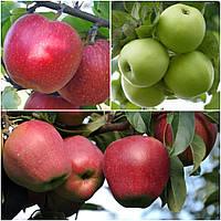 Яблуня дерево сад (Глостер + Мутса + Джонагоред)