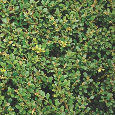 Падуб городчатый (Ilex crenata Thunb)