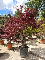 """Клен пальмолистный Acer Palmatum """"Atropurpureum"""" Fountain C50L h125-150"""