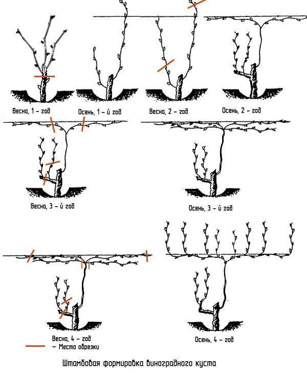 Схемы обрезки в зависимости от сорта винограда