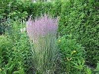 Вейник остроцветковый Овердам