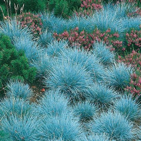 Келерия голубая (Koeleria glauca)