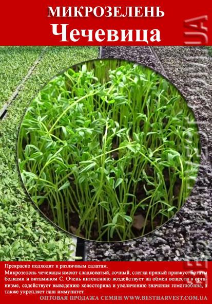 Семена на микрозелень «Чечевица» 100 г