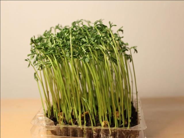 микрозелень чечевица, микрогрин (microgreen)